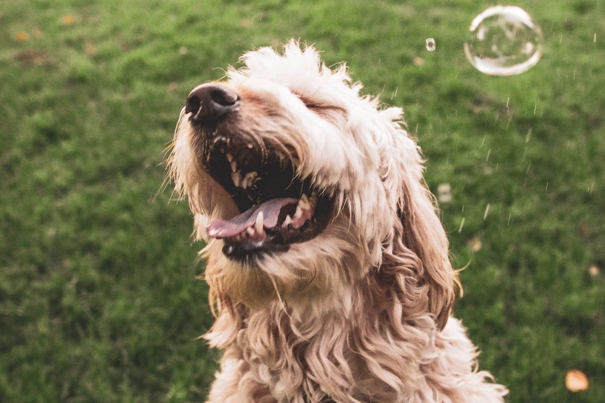 tan shaggy dog laughing and playing